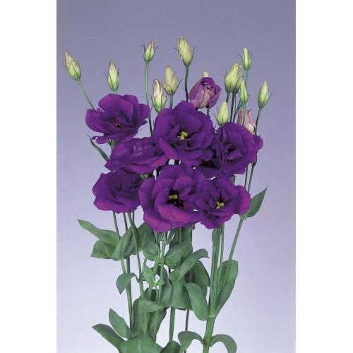 Фиолетовая эустома