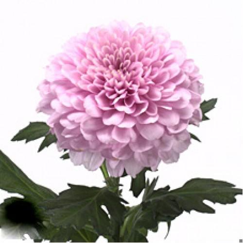 Розовая одноголовая хризантема