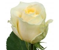Кремовая голландская роза