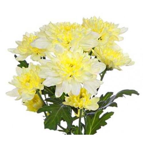 Кремовая кустовая хризантема
