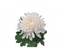 Белая одноголовая хризантема