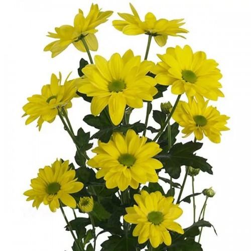 Жёлтая ромашковидная кустовая хризантема