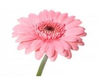Розовая гербера