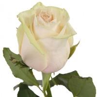 Кремовая крымская роза