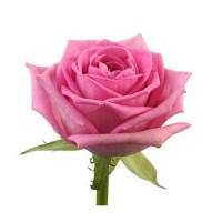 Розовая крымская роза