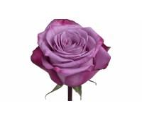 Фиолетавая голландская роза