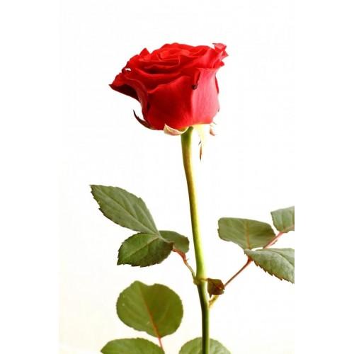 Красная крымская роза