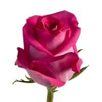 Малиновая голландская роза