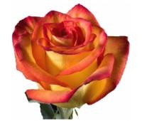 Оранжевая голландская роза