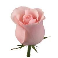 Розовая голландская роза