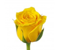 Жёлтая голландская роза